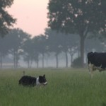 Maak 't mee: koeien halen.
